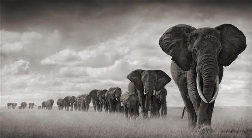 elephant-row