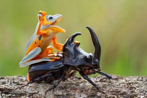 ride'em-beetle